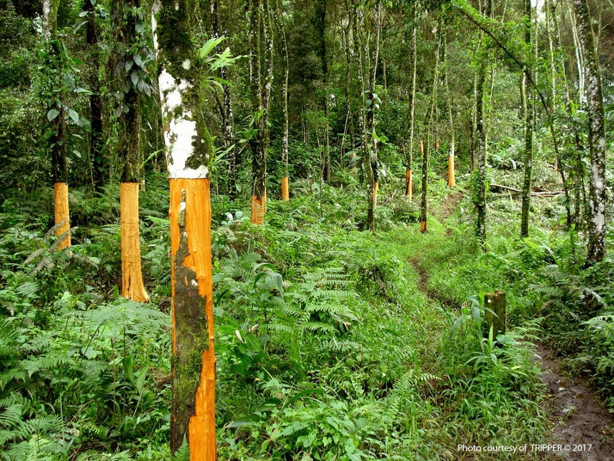 Cassia Plantation - Herbie's Spices