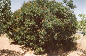 13.1 Sumac Tree